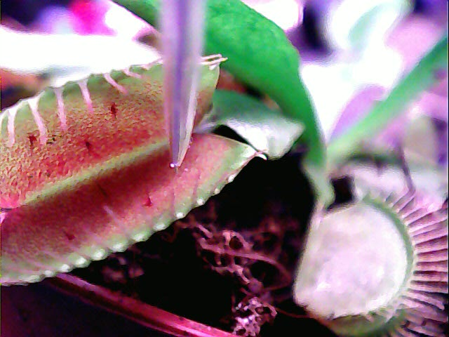 Venus fly trap measurement.jpg