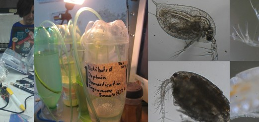 Distributed Daphnia Domestication Programme (DDDP)